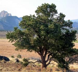 pine tree atPatrick K. Kelley, MD Craniofacial Team of Texas (CTOT) Austin